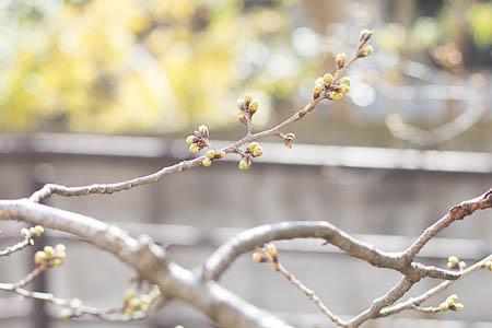武蔵小杉 桜 今井南町