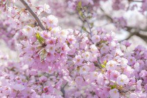 4月 april   桜