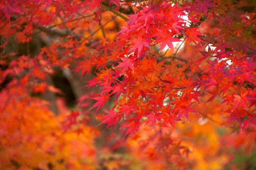 11月 november  紅葉
